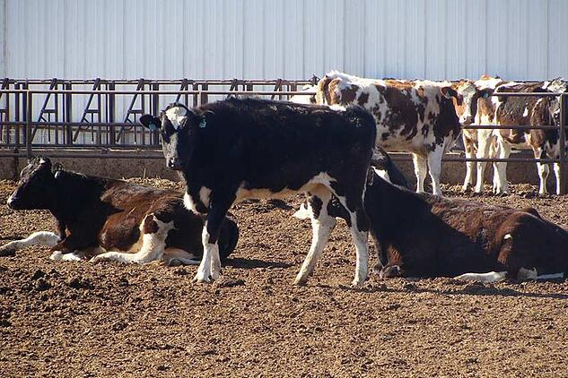 dairy cow manure biogas